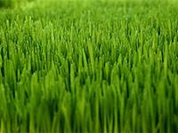meyer-zoysia-grass-sod