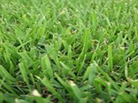 compadre-companion-zyosia-grass-sod